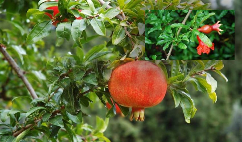 https://10tv.in/life-style/pomegranate-leaves-to-ward-off-diseases-296303.html